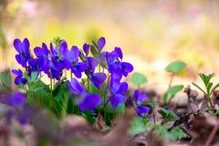 Violetas roxas em um fundo obscuro claro no woods_ imagem de stock royalty free