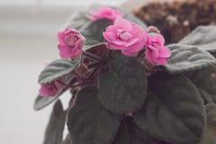 Violetas roxas flor violeta cor-de-rosa em um peitoril da janela Fotografia de Stock