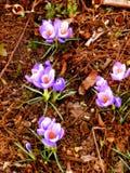 Violetas saltadas de la primavera al borde de un bosque 9 Foto de archivo libre de regalías