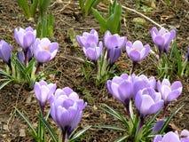 Violetas saltadas de la primavera al borde de un bosque Imágenes de archivo libres de regalías