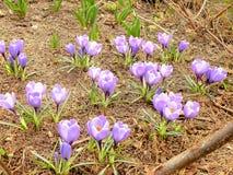 Violetas saltadas de la primavera al borde de un bosque Imagenes de archivo