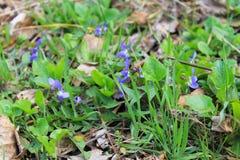 Violetas salvajes Imágenes de archivo libres de regalías