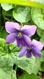 Violetas salvajes de Michigan Imágenes de archivo libres de regalías