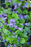 Violetas salvajes del bosque Foto de archivo libre de regalías