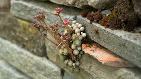 Violetas salvajes que crecen entre las piedras Imagen de archivo libre de regalías
