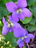 Violetas salvajes vibrantes Foto de archivo libre de regalías
