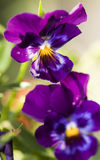 Violetas violetas Foto de Stock