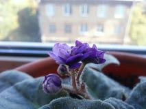 Violetas wiregalaxy Foto de Stock