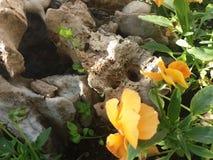 Violetas y rocas Fotos de archivo