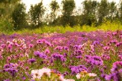 Violetblommalandskap Fotografering för Bildbyråer