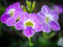 Violetblommorna Fotografering för Bildbyråer