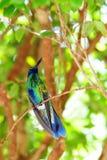 Violetear hummingbird Stock Image