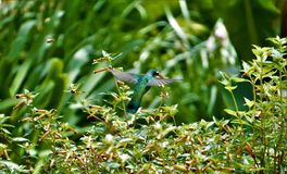 Violetear hummingbird in flight in front of flower. In Costa Rica royalty free stock photography