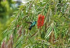 Violetear hummingbird at red bottlebrush shrub in Costa Rica. Violetear hummingbird at red bottlebrush shrub spotted in Costa Rica stock photo