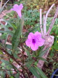 Violeten är blåa blommor i dag Fotografering för Bildbyråer