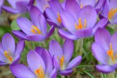 Violeten blommar bakgrund Royaltyfri Foto