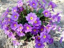 Violeten blommar bakgrund Royaltyfri Fotografi