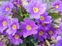 Violeten blommar bakgrund Arkivbild