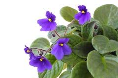 Violeten blommar på en vit bakgrund Arkivfoton