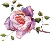 Violeten steg, vattenfärgen som var handgjord Royaltyfria Foton