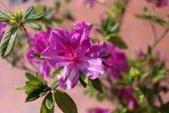Violetflower 免版税库存照片