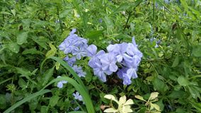 VioletFlower, natura così bella Immagine Stock Libera da Diritti