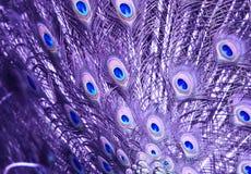 Violetkleurige Pauw` s Staart stock afbeelding