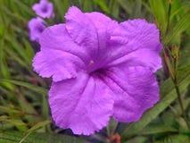 Violetsflowers Στοκ φωτογραφίες με δικαίωμα ελεύθερης χρήσης