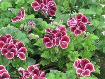 Violets Stock Photos