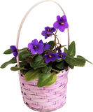 Violets. Royalty Free Stock Images
