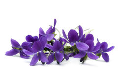 Violets. Bunch of violets, over white background Royalty Free Stock Photography