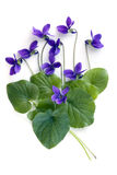 Violets. And leaves, over white background Royalty Free Stock Images