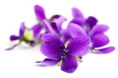 Violets Stock Photo
