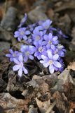 Violets. In spring in the countryside Royalty Free Stock Image