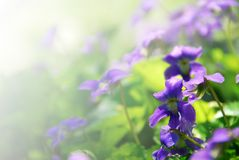 Violets. Blooming in a garden in early spring - background with copy space Stock Images