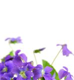 Violets. Spring border with white copy space and violets Royalty Free Stock Image