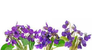Violets. Isolated on white background Royalty Free Stock Images