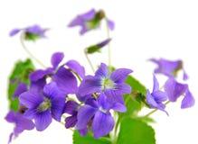 Violets Stock Image