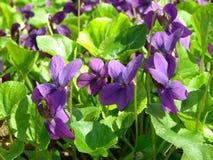 Violets Arkivbilder