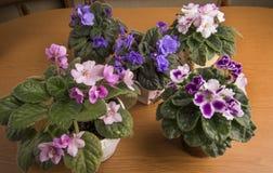 violets Fotografering för Bildbyråer