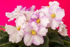 violets Arkivfoton