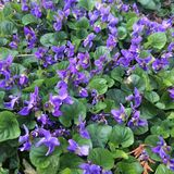 violets Royaltyfri Bild