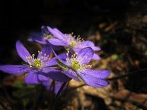 violets Arkivfoto