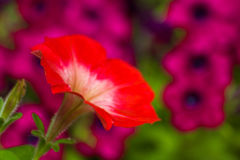 violets Royaltyfri Fotografi