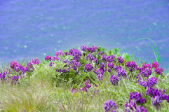 Violets against the sea Royalty Free Stock Images