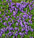 Violets background Royalty Free Stock Photography