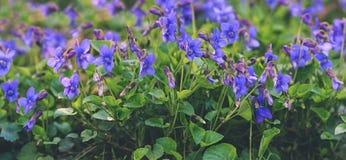 Violets bloom Stock Images