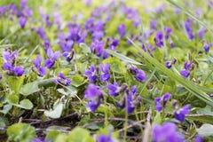 Violets Stock Photography
