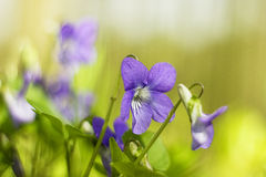 Violets Royalty Free Stock Photos