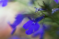 Violets, blurred background, shallow focus. Abstract violets, with abstract blurred background, closeup shot, shallow focus stock photography
